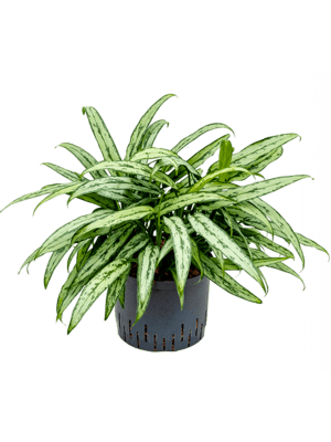 Aglaonema cutlass