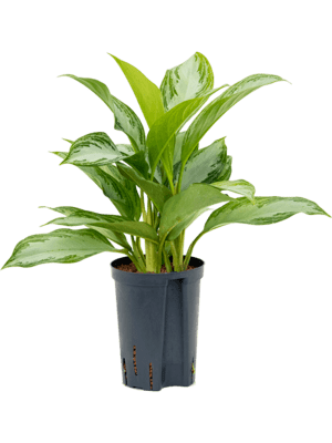 Aglaonema 'Silver Bay' Tuff 15/19 40 - Pflanze