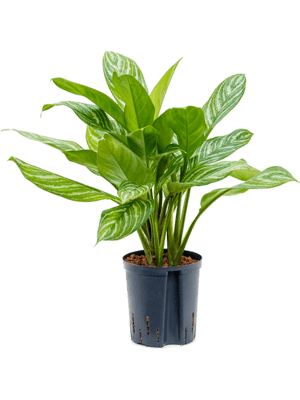 Aglaonema 'Stripes' Tuft 18/19 50 - Plant