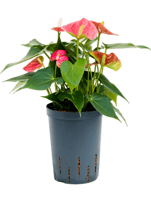 Anthurium andreanum 'Colorado'