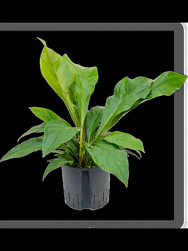 Anthurium elipticum 'Jungle Bush' Buisson 22/19 60 - Plante - Main image