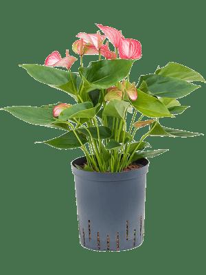 Anthurium andraeanum 'Livium' Buisson Rose 18/19 45 - Plante