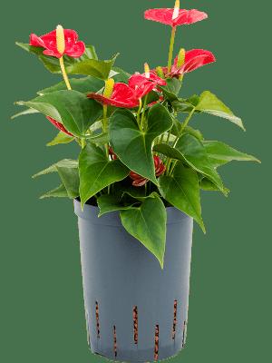 Anthurium andreanum 'Nevada'