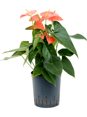Anthurium andraeanum 'Prince of orange' Bush Orange 18/19 50 - Pflanze