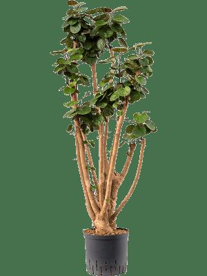 Aralia (polyscias) fabian
