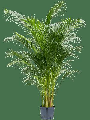 Areca (chrysalidocarpus) lutescens