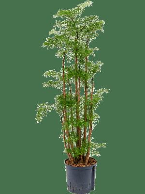 Aralia (polyscias) 'Ming' Ramifié 22/19 120 - Plante