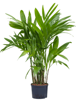 Areca (chrysalidoc.)triandra