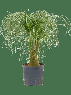Beaucarnea recurvata Vertakt 22/19 75 - Plant