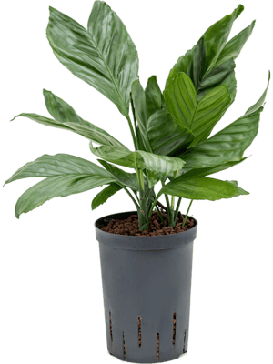 Chamaedorea metallica Tuff 15/19 45 - Pflanze