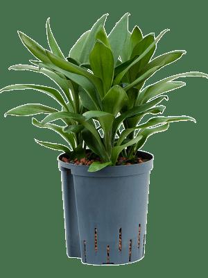 Cordyline 'Glauca' Touffe 18/19 40 - Plante