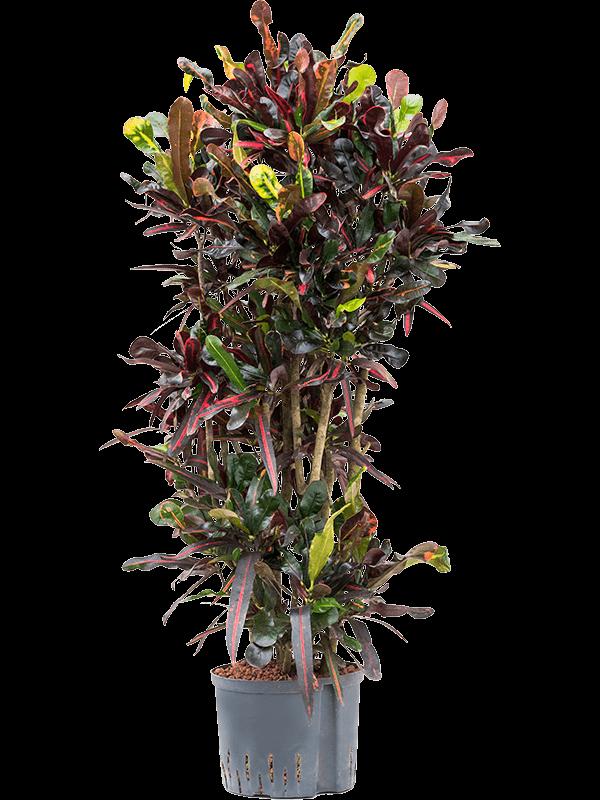 Croton (codiaeum) variegatum 'Mammi' Vertakt 25/19 120 - Plant - Main image