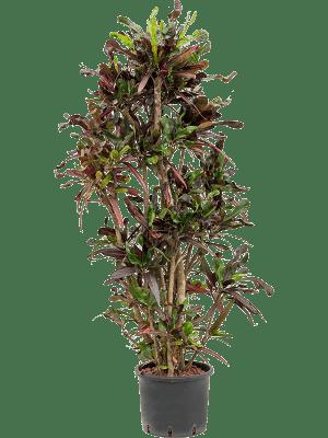 Croton (codiaeum) variegatum 'Mammi' Ramifié 28/24 140 - Plante