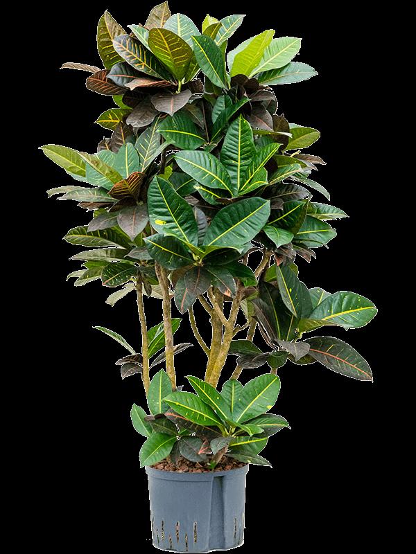 Croton (codiaeum) variegatum 'Petra' Ramifié 25/19 130 - Plante - Main image