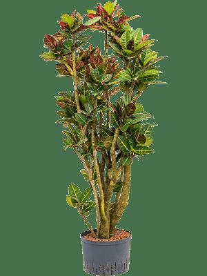 Croton (codiaeum) variegatum 'Petra' Ramifié 28/19 140 - Plante