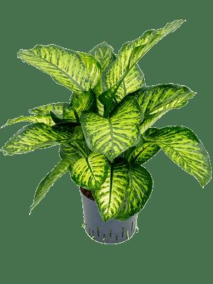 Dieffenbachia maroba
