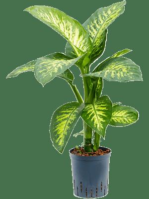 Dieffenbachia seguine 'Tropic Snow' Touffe 18/19 60 - Plante
