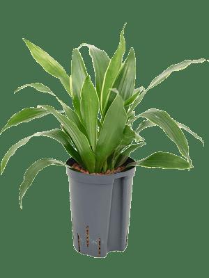 Dracaena fragrans 'Arturo' Kopf 2pp 15/19 40 - Pflanze