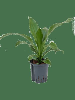 Dracaena burley green