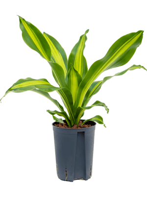 Dracaena fragrans 'Burley' Kopf 15/19 50 - Pflanze