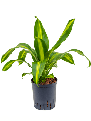 Dracaena fragrans 'Burley' Kopf 18/19 65 - Pflanze