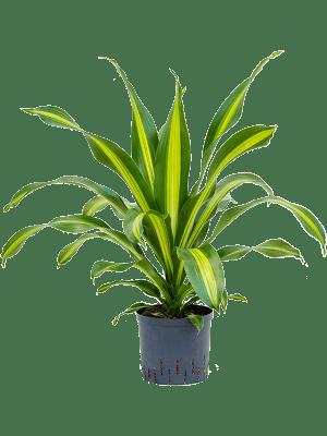 Dracaena fragrans 'Burley' Kopf 22/19 60 - Pflanze