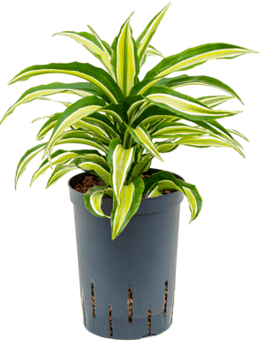 Dracaena compacta malaika