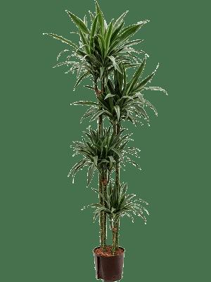 Dracaena deremensis 'Warneckei' 120-90-60-30 22/19 180 - Plant