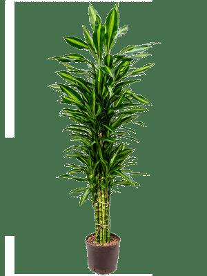 Dracaena cintho