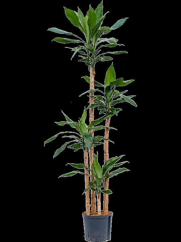 Dracaena fragrans 120-90-60-30 22/19 190 - Plant - Main image