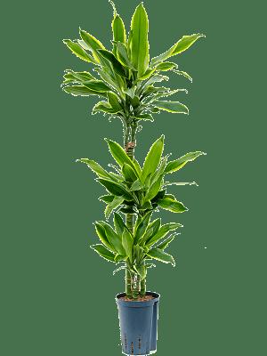 Dracaena fragrans 'Golden coast' 60-30-15 15/19 95 - Plant