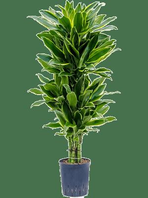 Dracaena fragrans 'Golden coast' Branched-multi 18/19 110 - Plant