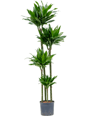 Dracaena fragrans 'Green Jewel' 120-90-60-30 22/19 160 - Plant