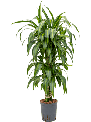 Dracaena hawaiian sunshine