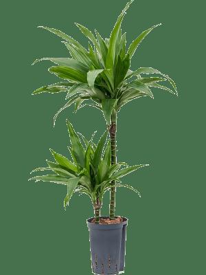Dracaena fragrans 'Janet Craig' 45-15 15/19 90 - Pflanze