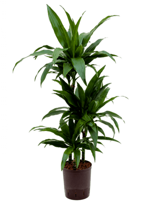 Dracaena fragrans 'Janet Craig' 60-30-15 15/19 100 - Plante