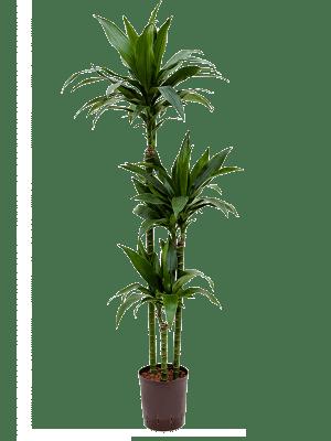 Dracaena fragrans 'Janet Craig' 90-60-30 18/19 140 - Plante