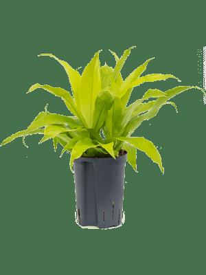 Dracaena fragrans 'Limelight' Kopf 2pp 15/19 40 - Pflanze