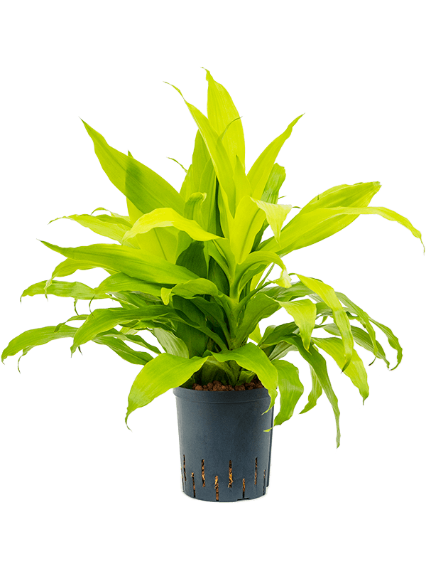 Dracaena fragrans 'Limelight' Kopf 3pp 18/19 40 - Pflanze - Main image