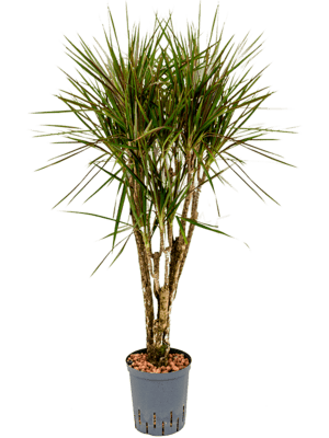 Dracaena marginata spider