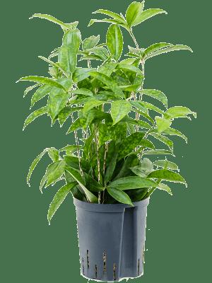 Dracaena surculosa Tuft 18/19 45 - Plant
