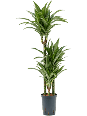 Dracaena fragrans 'Ulises' 60-30-15 15/19 90 - Plante