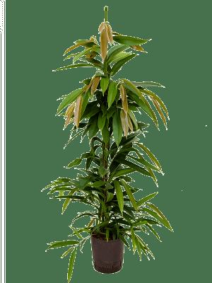 Ficus binnendijkii 'Amstel King' Tuft 18/19 95 - Plant