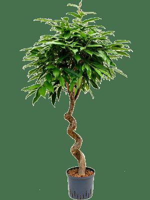 Ficus amstel king (120-150)