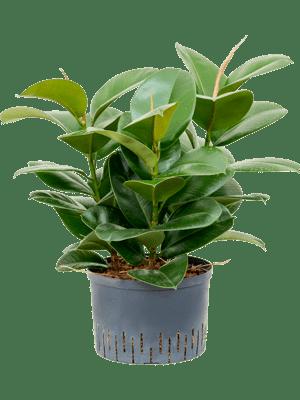 Ficus chloe