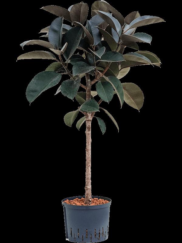 Ficus elastica 'Abidjan' Stam 25/19 120 - Plant - Main image
