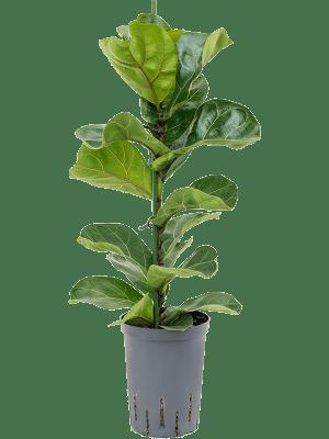 Ficus lyrata bambino (70-90)