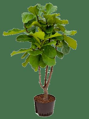 Ficus lyrata Tige ramifié 28/19 140 - Plante