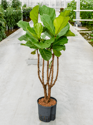 Ficus lyrata