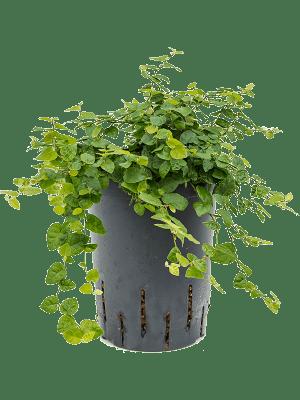 Ficus repens green sunny